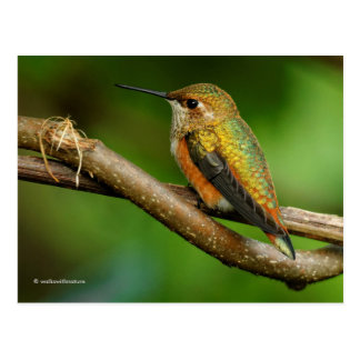 Beautiful Rufous Hummingbird on Twining Vines Postcard