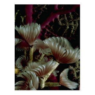 Beautiful Sabellid tube worms Post Cards
