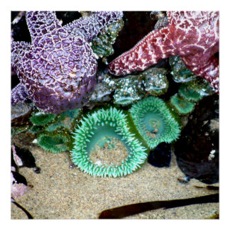 Beautiful Sea Stars and Green Anemones Photograph Poster