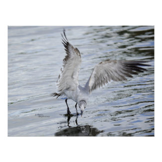 Beautiful Seagull flapping wings Poster