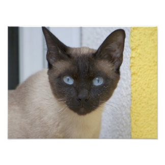 Beautiful Seal Point Siamese Cat Photo Print