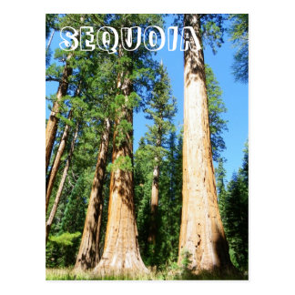 Beautiful Sequoia Postcard! Postcard