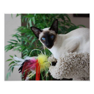 Beautiful Siamese Cat Playing With Toy Poster