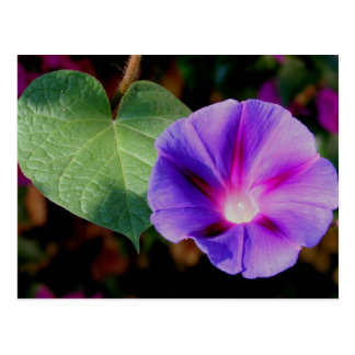 Beautiful Single Morning Glory Flower and Leaf Postcard