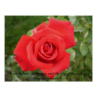 Beautiful single rose with Scripture. Poster