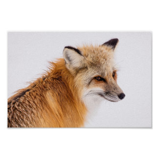 Beautiful Sly Fox Poster