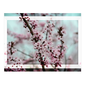 Beautiful Spring Cherry Blossom Postcard