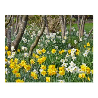 Beautiful spring daffodil garden postcard