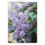 Beautiful Spring Old Fashioned Lilac Blank Greeting Card