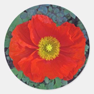 beautiful spring poppy in australia classic round sticker