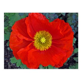 beautiful spring poppy in australia postcard