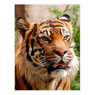 Beautiful tiger face postcard