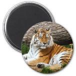 Beautiful Tiger Resting Photograph Fridge Magnets