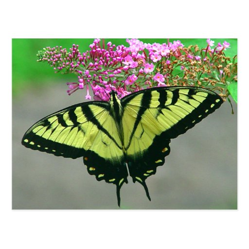 Beautiful Tiger Swallowtail Butterfly Postcard 6
