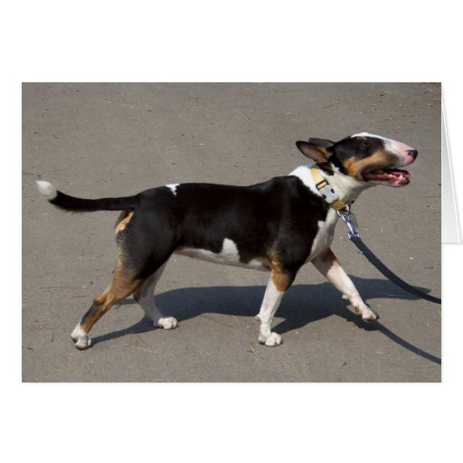 Beautiful Tricolored Bullterrier Greeting Card