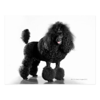 Beautiful, trimmed, black, complete poodle body postcard