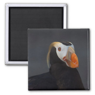 Beautiful Tufted Puffin in Breeding Plumage Magnet