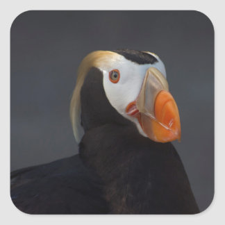 Beautiful Tufted Puffin in Breeding Plumage Square Sticker