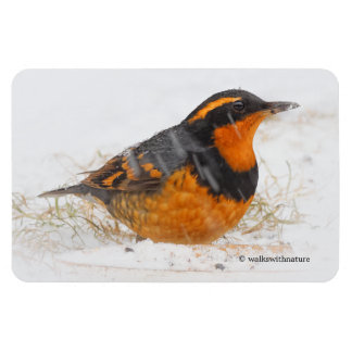 Beautiful Varied Thrush on a Snowy Winter's Day Magnet