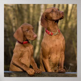 Beautiful Vizsla Sporting Dogs Poster