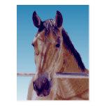 Beautiful Western Horse Postcard