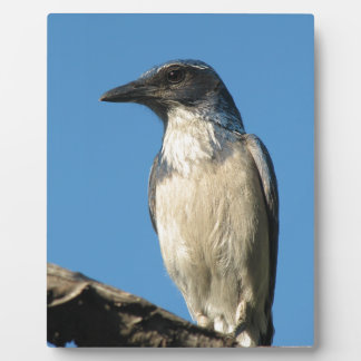 Beautiful Western Scrub Jay Photo Plaques