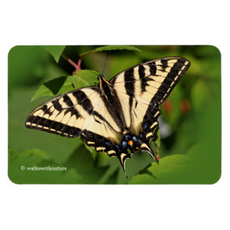 Beautiful Western Tiger Swallowtail Butterfly Magnet