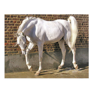Beautiful White Arabian Horse Postcards