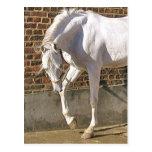 Beautiful White Arabian Horse Postcard