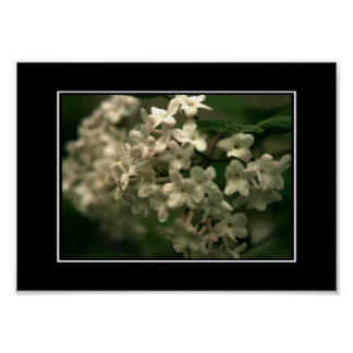 Beautiful White Butterfly Bush Poster! (with borde Poster