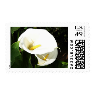 Beautiful White Calla Flowers In Bright Sunlight Postage