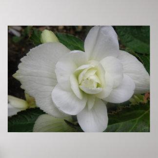 Beautiful White Carnation Print