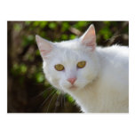 Beautiful White Cat Postcard