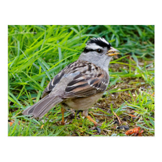 Beautiful White-Crowned Sparrow in the Grass Postcard