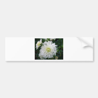 Beautiful White Dahlia - Bumper Sticker