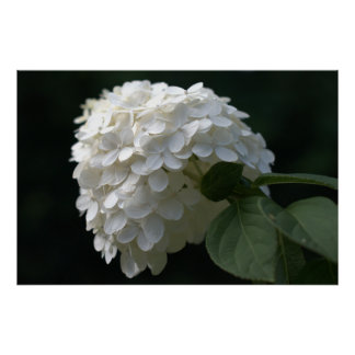 Beautiful White Lime Hydrangea Flower Poster