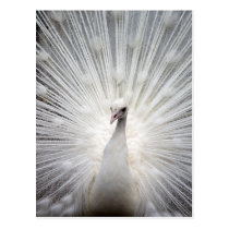 Beautiful white peacock postcard