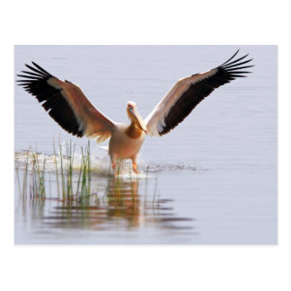 Beautiful White Pelican Taking Flight Among Reeds Postcard