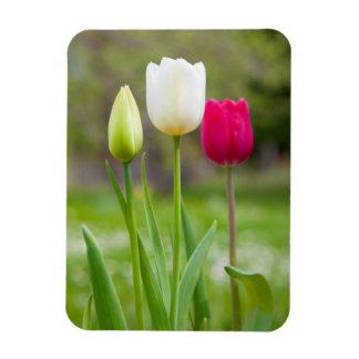 Beautiful white pink spring tulips photo magnet