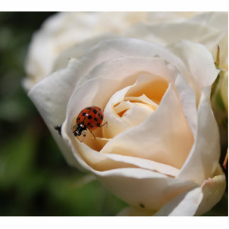 beautiful white rose flower and ladybug statuette