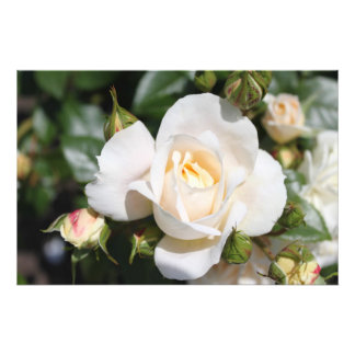 Beautiful white rose flower. floral photography photo print