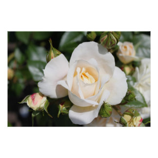 Beautiful white rose flower. floral photography, poster
