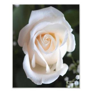Beautiful White Rose Photograph
