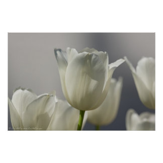 Beautiful White Spring Tulips Poster