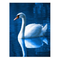 Beautiful white swan in water postcard