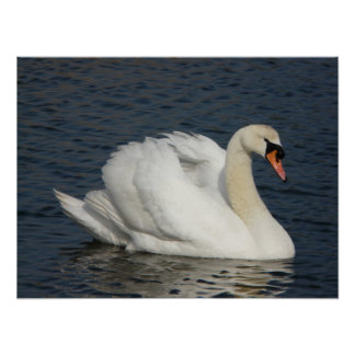 Beautiful white swan in water poster