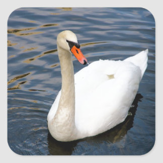 Beautiful white swan in water square stickers