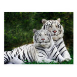 Beautiful White Tigers Post Cards