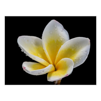 Beautiful white-yellow Plumeria flower Print
