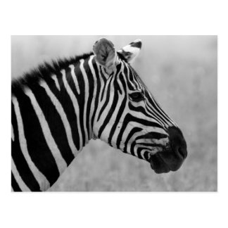 Beautiful wild black and white zebra design postcard